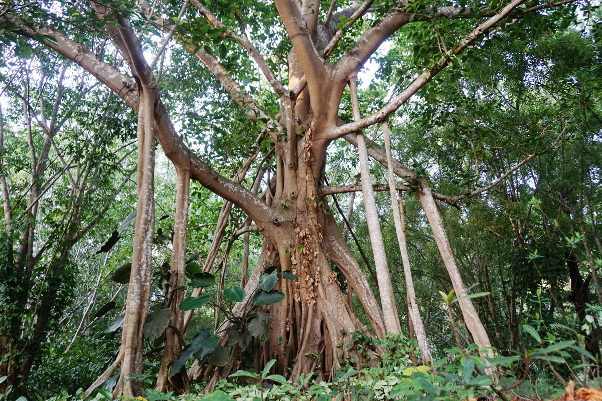 Photo of banyan fig tree with large roots connecting upper branches to the ground. The aerial roots look like mini tree trunks.