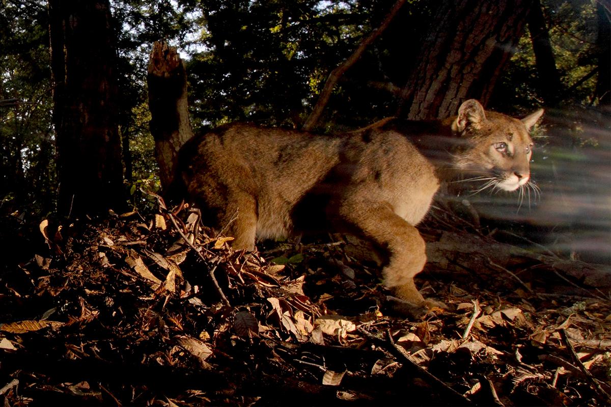 Camera-trap closeup of a puma walking through a dark forest.