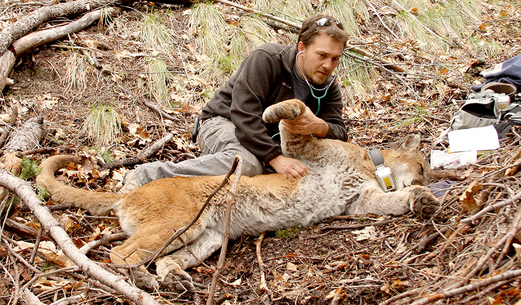 Photo of Allen putting a GPS collar on an adult puma that has been tranquilized.