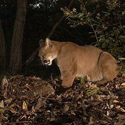 Camera-trap photo of a puma standing next to a carcass buried in leaf litter.