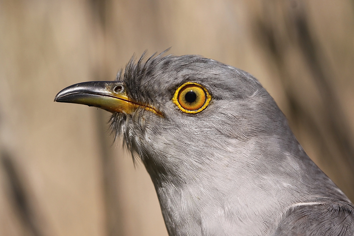 The head of a common cuckoo.