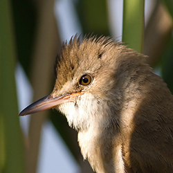 Photo of a great reed warbler