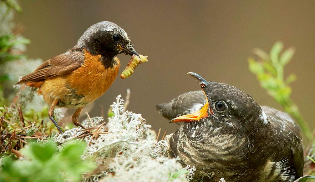 Adult common redstart feeding a cuckoo chick.