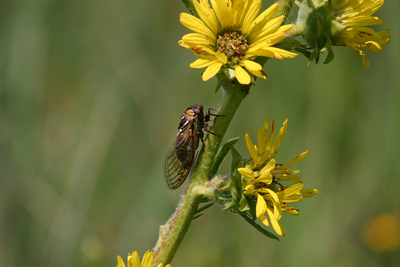 A male M. dorsatus calls loudly from a compass plant flower stem in Loda Cemetery Prairie Nature Reserve.