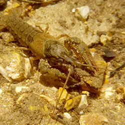 Photo of a crayfish on a rocky streambed.