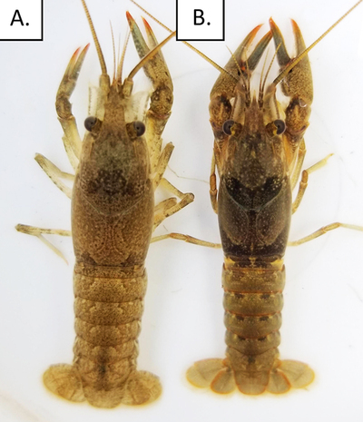 Two crayfish side-by-side with subtle differences in coloration.