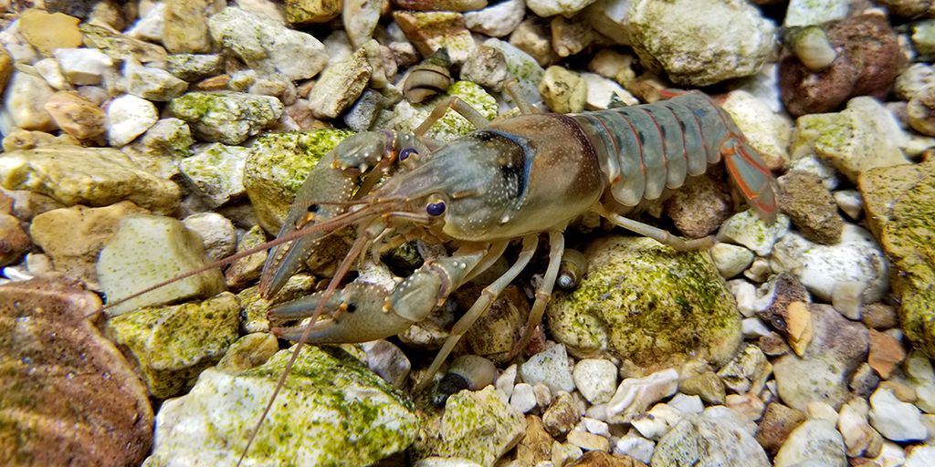 Photo of a crayfish on a rocky streambed
