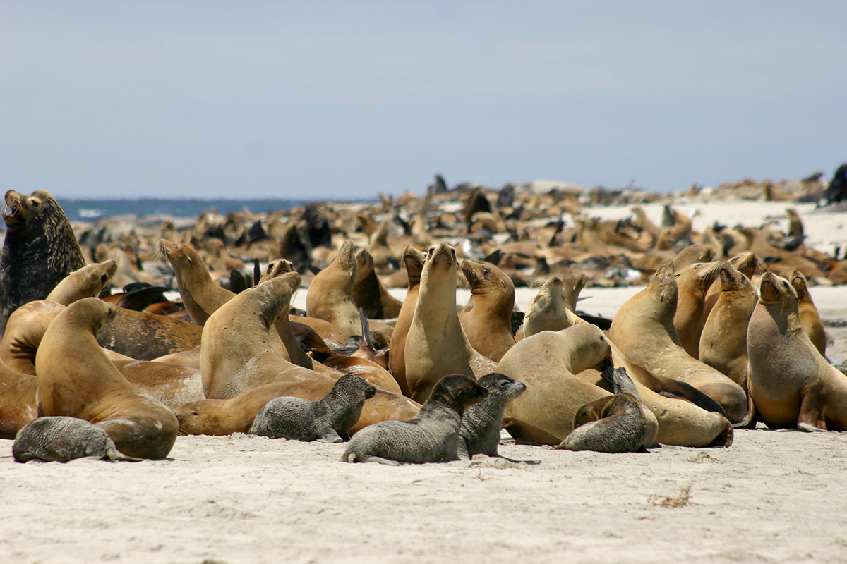 Photo of sea lions gathered on the breeding beaches of one of the Channel Islands