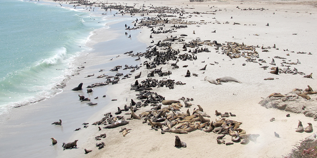 Aerial photo of thousands of sea lions gathered on the breeding beaches of San Miguel Island.