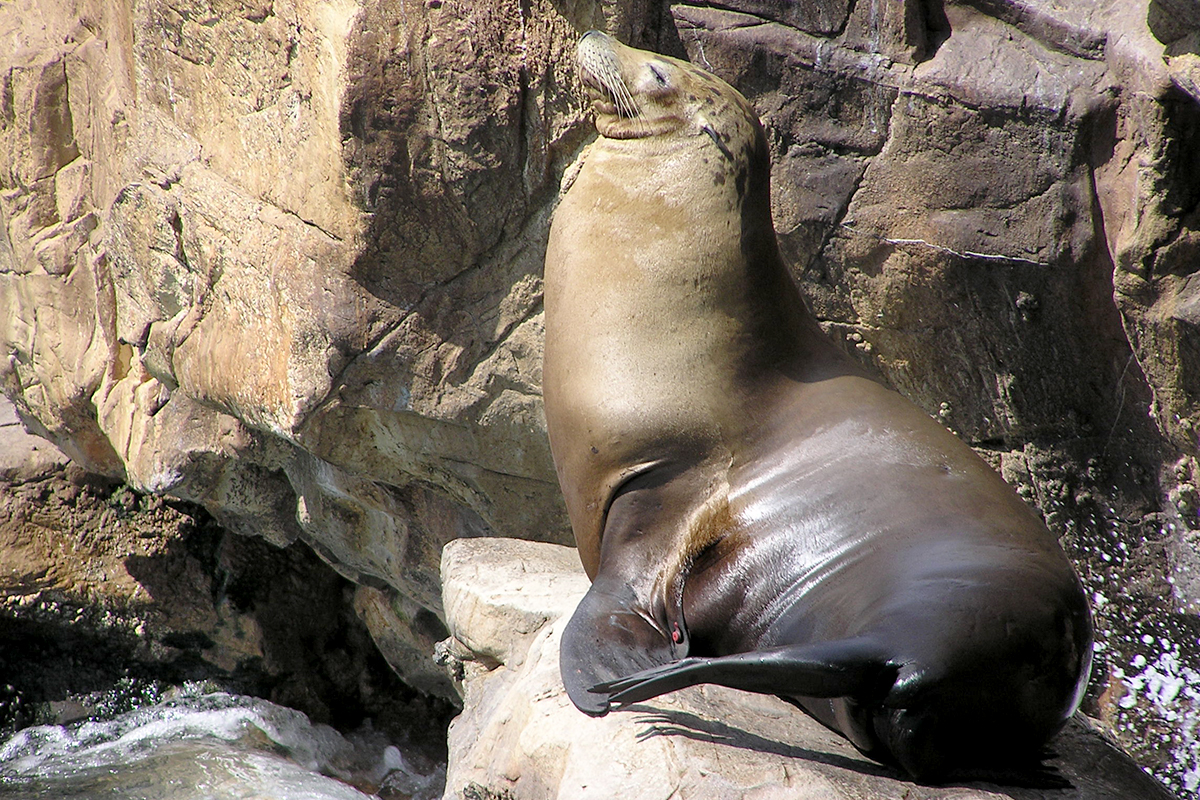 Photo of a California sea lion on a rocky shoreline.