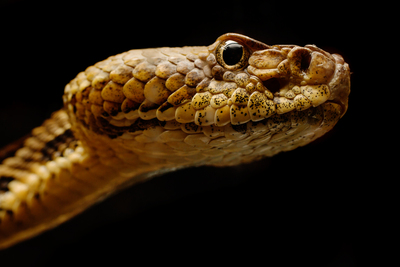Image of the head and face of a timber rattlesnake. It looks concerned.