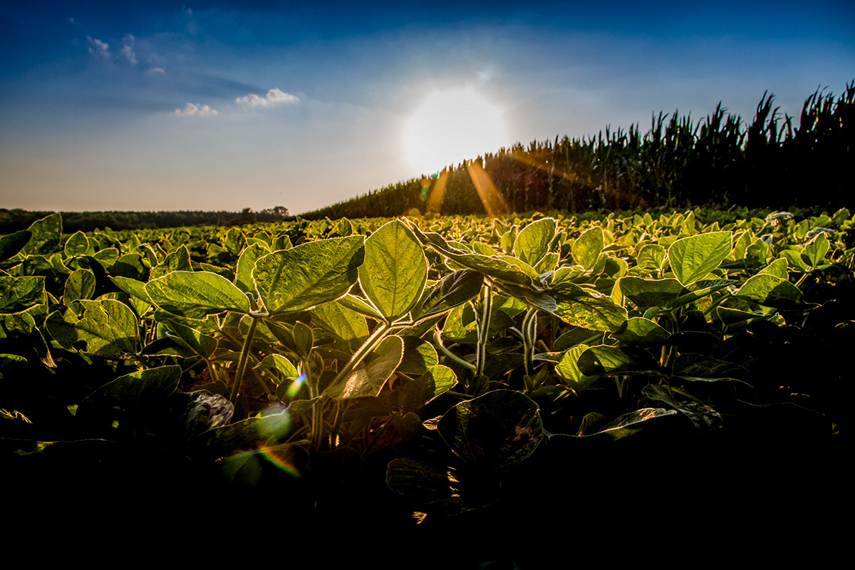 Soybean field and sunshine