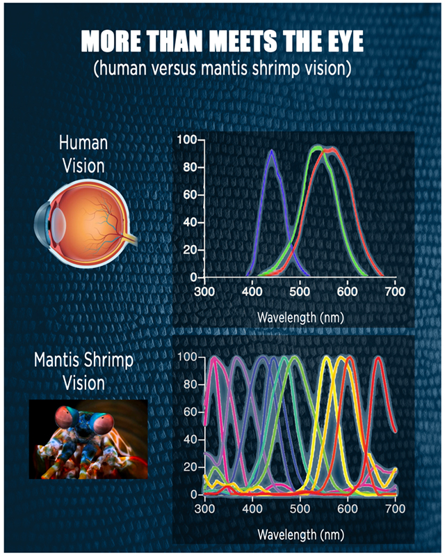 Graphic showing the difference between human and mantis shrimp perception of color.