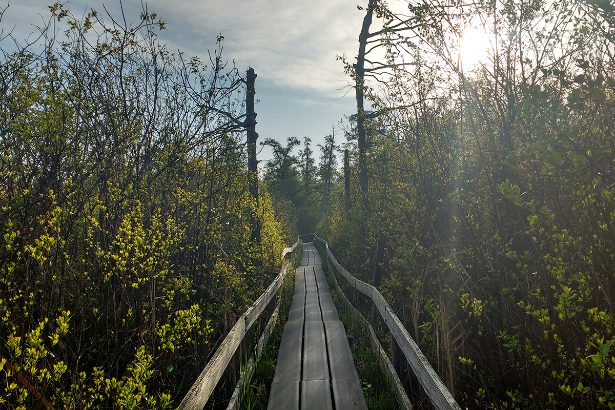 Photo of a wooden boardwalk (with wooden rails) cutting through tall vegetation on either side. The sun rises to the right, casting long shadows on the boardwalk, which doglegs to the left a bit.