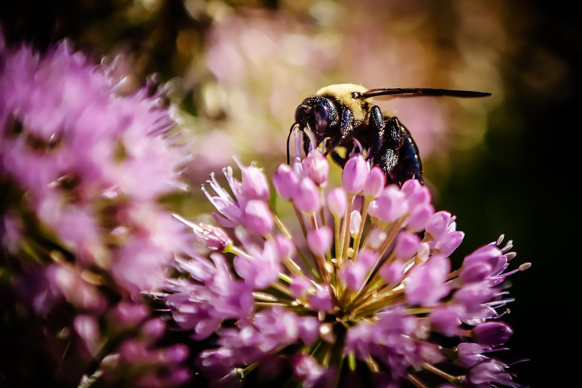 A carpenter bee on the Illinois campus last summer.