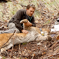 Photo of researcher with an anesthetized puma.