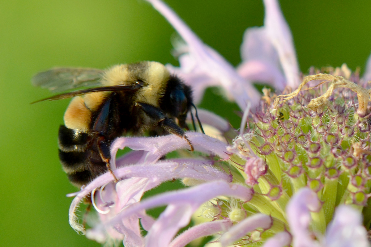 Photo of rusty patched bumble bee on a bee balm flower.