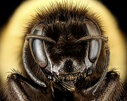 Macro photo of the Bombus affinis queen.