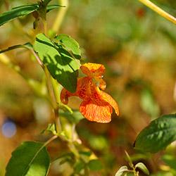 Photo of a delicate orange flower.
