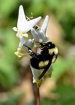 Photo of the rusty patched bumble bee on a white flower.