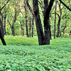 Photo of forest with carpet of flowering plants. Tiny flowers dot the green vegetation.