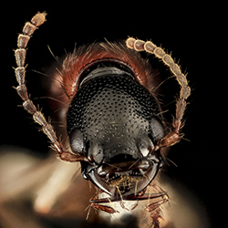 Photo of the face of a rove beetle.