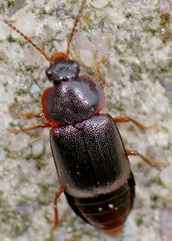 Photo of a rove beetle (full body).