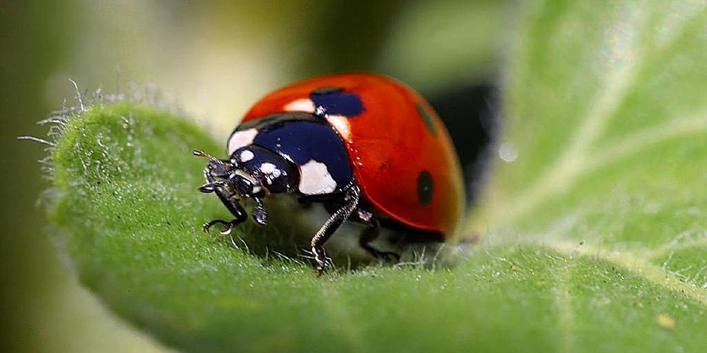 Lady bug on a leaf.