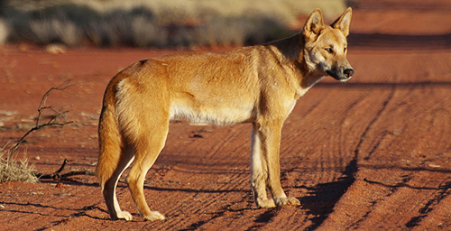 New evidence suggests dogs arrived in the Americas only about 10,000 years ago.