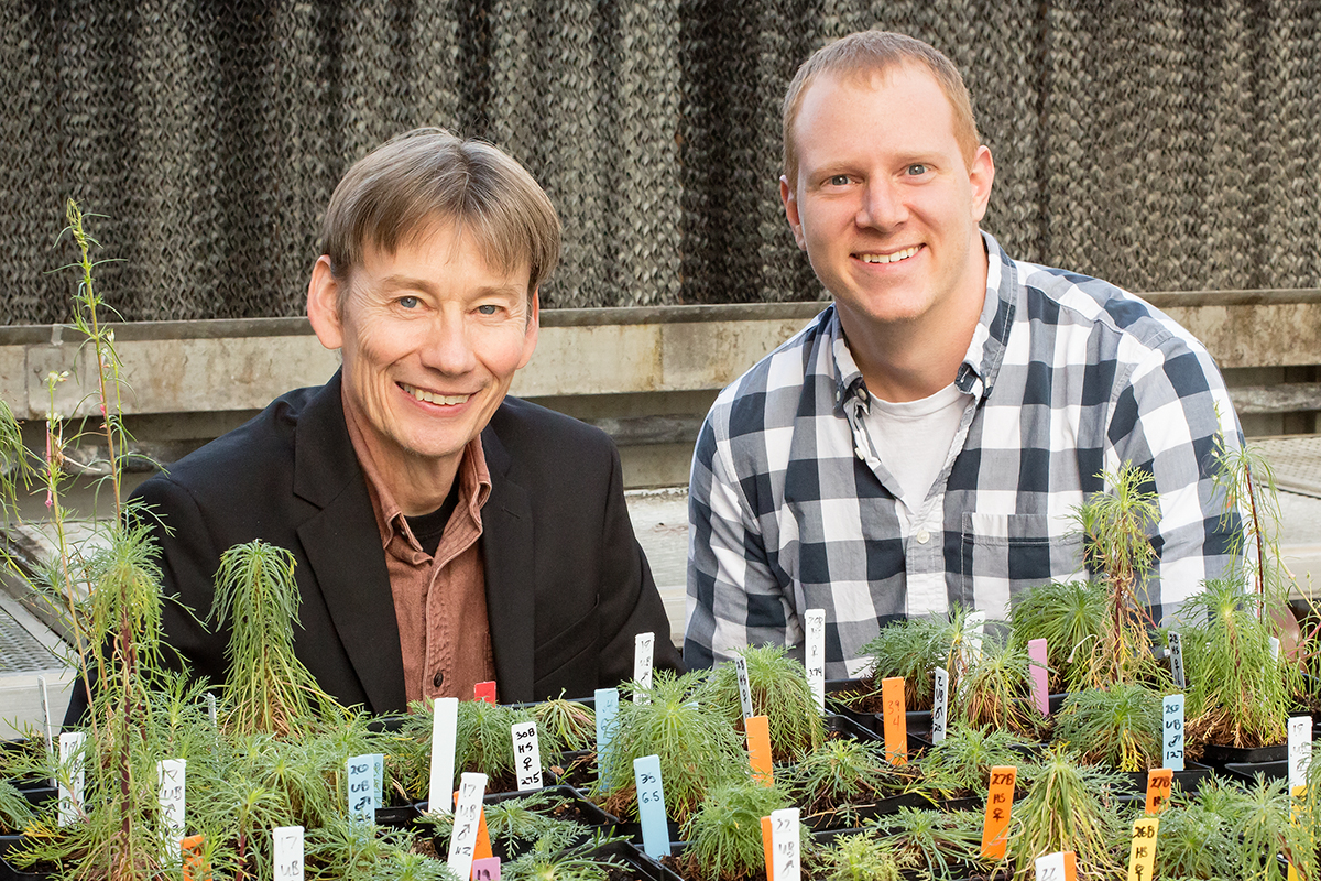 Animal biology professor Ken Paige (left) and postdoctoral fellow Daniel Scholes found that a plant's ability to duplicate its genome within individual cells influences its ability to regenerate.