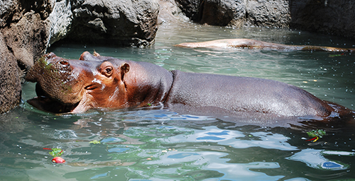After experiencing power outages during a 2007 ice storm in Springfield, Missouri, Dickerson Park Zoo officials improved their backup power and heating systems to keep animals - like Henry, pictured here -- safe and warm.