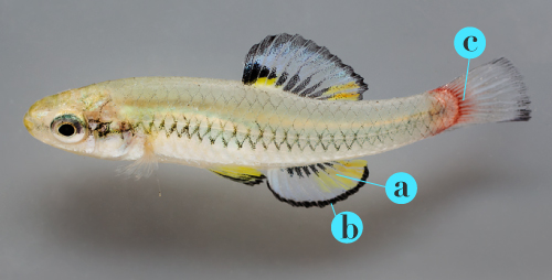 The pigment melanin contributes to the black edges (b) on the anal fin that are a sign of dominance, while pterins account for the red and yellow colors (a) on the anal fin, and signal health. Carotenoids on the caudal fin (c) indicate that the fish is eating well. Brighter, more-intense colors are associated with better mating success.