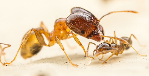 Big-headed ants get their name from the soldier ants, left, which are larger than other workers and have disproportionately sized heads. The ants pictured here are from Australia.