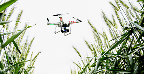 Drones - unmanned aerial vehicles - scout wheat on the university's South Farms.