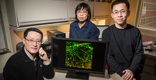 University of Illinois cell and developmental biology professor Fei Wang, left; visiting scholar Qiuhao Qu, center; materials science and engineering professor Jianjun Cheng; and their colleagues improved the process of converting stem cells into motor neurons. (Neurons are green; motor neurons are red in the image on the screen).