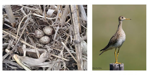 American robins (top) and vesper sparrows (bottom) were found nesting in greater abundance in no-till than in tilled soybean fields. A rare grassland species, the upland sandpiper was found nesting in a no-till field.