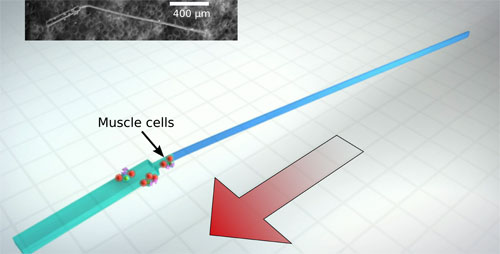 Engineers developed the first tiny, synthetic machines that can swim by themselves, powered by beating heart cells.