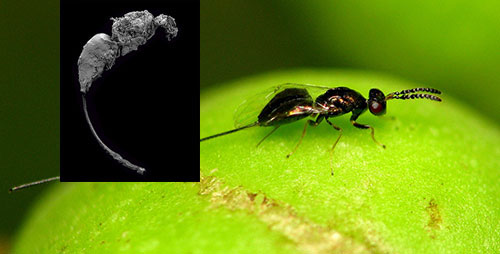 Although it lived roughly 65 million years before the earliest known occurrence of figs, the fossil wasp's ovipositor closely resembles those of today's fig wasps.