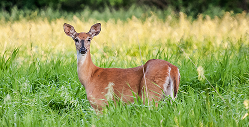 A new study found that the targeted culling of deer prevents the rampant spread of chronic wasting disease to healthy deer.