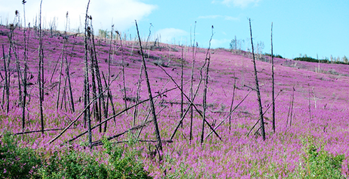 The magenta-flowered fireweed, which springs up after a burn, dominates a landscape once covered in black spruce in Alaska's Yukon Flats.