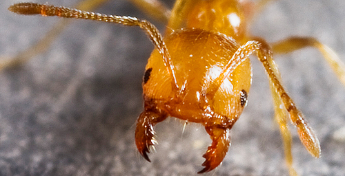 Antkey's distinctive photographs make it easy to identify an ant's most obvious features, like the mandibles of this Monomorium desctructor.
