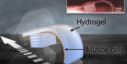 "Miniature ""bio-bots"" developed at the University of Illinois are made of hydrogel and heart cells, but can walk on their own."