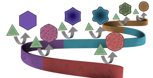 University of Illinois chemists found that DNA can shape gold nanoparticle growth similarly to the way it shapes protein synthesis, with different letters of the genetic code producing gold circles, stars and hexagons.