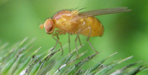 The fruit fly Drosophila melanogaster is a useful model organism for studying the whole-body effects of methamphetamine exposure.