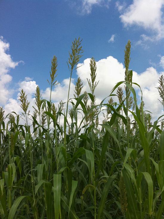 Team aims to make sugarcane, sorghum into oil-producing crops | Illinois