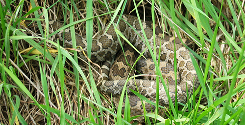 The eastern massasauga rattlesnake normally spends spring in shallow wetlands and summer in drier upland areas.