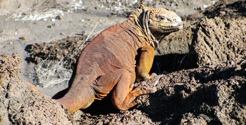 Proximity to human settlements or tourist sites was the best predictor of antibiotic-resistant bacteria in Galpagos reptiles. Land iguanas such as this lizard on Isla Fernandina live in remote locations with no human contact and are unlikely to carry resistance genes.