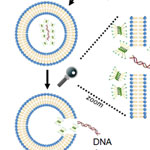 Polymers as gene delivery agents. Helical charged polypeptides, left, deliver DNA to the cell by rupturing the endosomal membrane. Random-coil polymers, right, do not rupture the membrane, so the DNA is not released inside the cell.