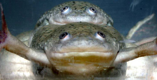 Both of these African clawed frogs are genetically male, but lifelong exposure to the herbicide atrazine transformed the frog on the bottom to female. The frog reproduced with normal males twice.