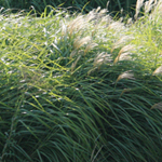 Bioenergy crops, such as switchgrass (front) and miscanthus (rear), have very dense foliage, thus having a different effect on hydrology than traditional agricultural crops. They transpire more water, thereby reducing both soil moisture and runoff.